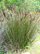 """Grass in Botanic garden """"Kirstenbosch"""" in South Africa - stock photo"""