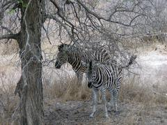 Zeebra's in Hluwluwe park in South Africa - stock photo
