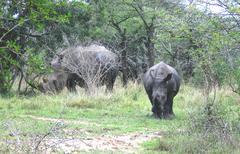 Rhino with young in Hluwluwepark in South Africa - stock photo