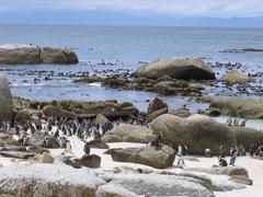 Pinguins on the beach in Simonstown in South Africa - stock photo