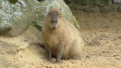 Capybara (Hydrochoeris hydrochaeris) in sand - on camera Stock Footage
