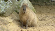 Stock Video Footage of Capybara (Hydrochoeris hydrochaeris) in sand - on camera
