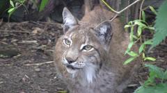 Scandinavian Lynx medium shot Stock Footage