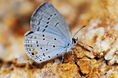 eastern tailed-blue - stock photo