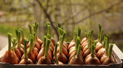 Growing onions in a garden 9a Stock Footage