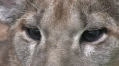 Puma extreme close up of eyes Stock Footage