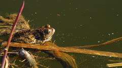 Common toad sitting Stock Footage