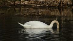 Mute swan eating Stock Footage