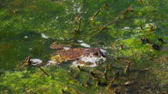 Common toad with foam Stock Footage