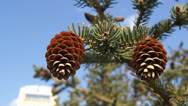 Two fir-cones close up Stock Footage