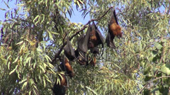 Flying fox – fruit bats (Megachiroptera) on tree in park, India Stock Footage