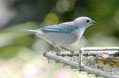 blue-gray tanager - stock photo