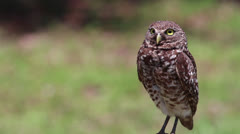 Burrowing Owl Stock Footage