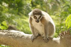 Young lemur in the open zoo Stock Photos