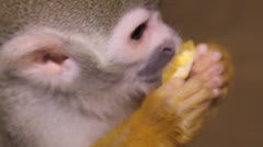 Squirrel monkey Stock Footage