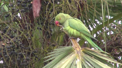 Green parrot on palm tree in India and wind Stock Footage