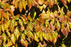 Colorful Dogwood Tree Leaves in the Autumn Season - stock photo