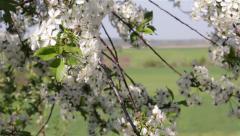 Blossoming Tree Medium Stock Footage