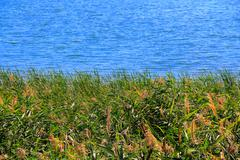Bulrush and lake in summer Stock Photos