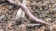 Stock Video Footage of Worm on the Move 1