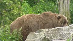 Kodiak bear (Ursus arctos middendorffi) walks behind rock Stock Footage