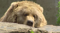 Kodiak bear (Ursus arctos middendorffi) sleepy - close up - on camera Stock Footage