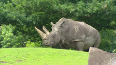 White Rhinoceros (Ceratotherium simum) - on camera Stock Footage