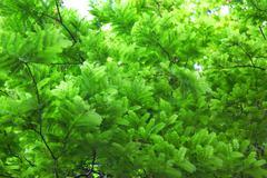 tamarind leaves - stock photo