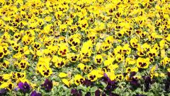 Pansies blowing in the wind Stock Footage
