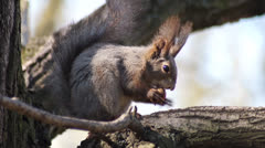 Squirrel sitting on the tree and eating a nut Stock Footage