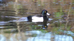 Tufted Duck, floating on the water Stock Footage
