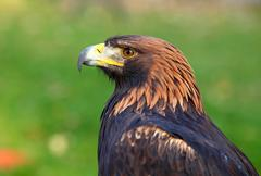 portrait of a golden eagle (aquila chrysaetos) - stock photo