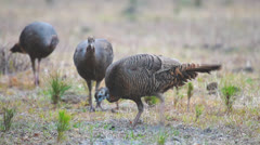 Wild Turkey Hens Stock Footage