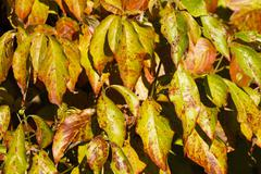 Colorful Autumn Dogwood Tree Leaves - stock photo