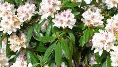 Azalea Flowers Stock Footage