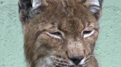 Southern European (Eurasian) Lynx extreme close up - stock footage