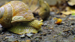 Snail - stock footage