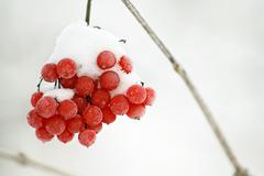 Frosty red berries in a wintry scene Stock Photos