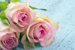 Pink roses on light blue wooden background Stock Photos