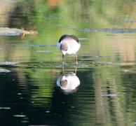 Black-winged stilt viewing reflection - stock photo