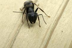carpenter ant close-up of jaws - stock photo