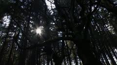 Sweet chestnut tree Stock Footage