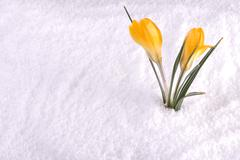 Crocus in snow yellow Stock Photos
