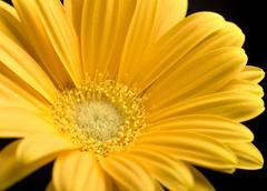 Bright yellow gerbera daisy Stock Photos