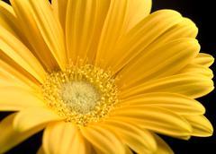 bright yellow gerbera daisy - stock photo