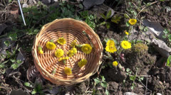 Cutting fresh wild coltsfoot medical flower in early spring Stock Footage