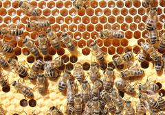 Life and reproduction of bees. Stock Photos
