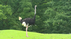 Ostrich male (Struthio camelus) standing still in park Stock Footage