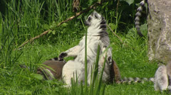 Ring-tailed Lemur (Lemur catta) sunbathing, playful offspring Stock Footage