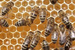 transformation of nectar into honey - stock photo
